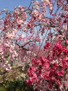 ブログ140_桃の木