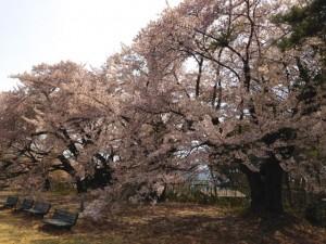 ブログ140_桜