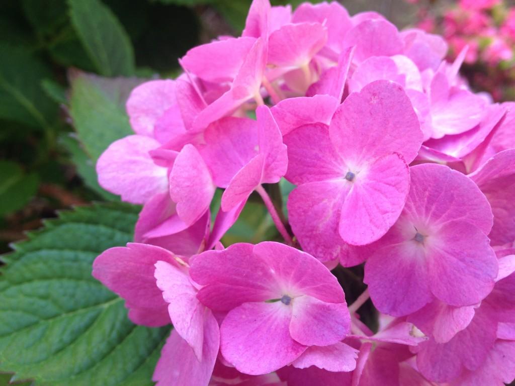 艶やかなピンクの紫陽花