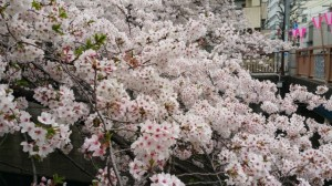 ブログ206_目黒川の桜
